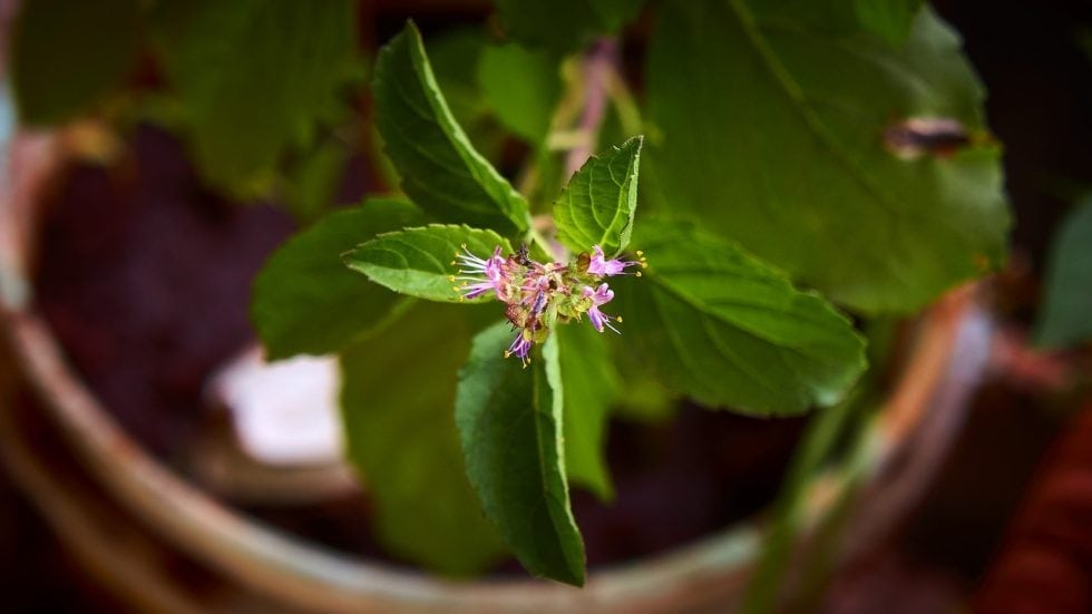 Benefits of Tulsi and Other Fresh Herbs to Know About if you have Mast Cell Activation Syndrome or Histamine Intolerance