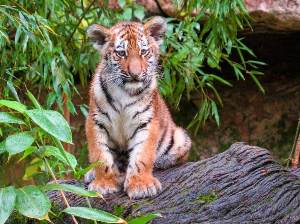 Tiger Cub Mast Cell 360