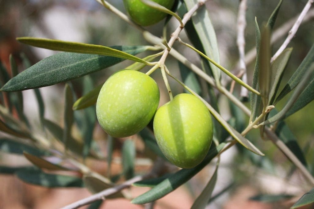 Olives Mast Cell 360
