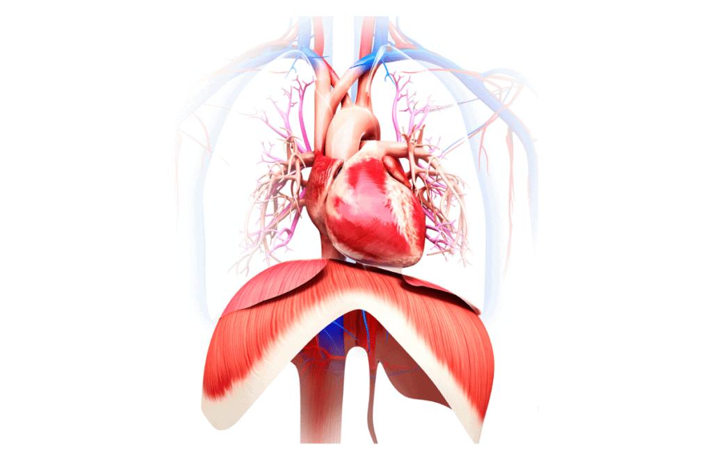 Diaphragm Mast Cell 360